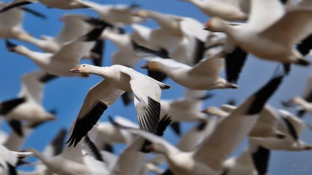 Перелётная стая гусей