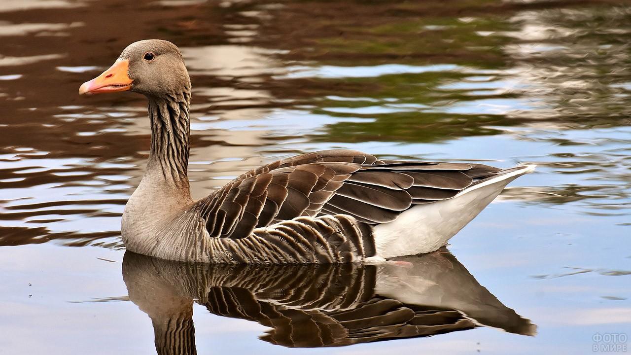 Плывущий по озеру серый гусь