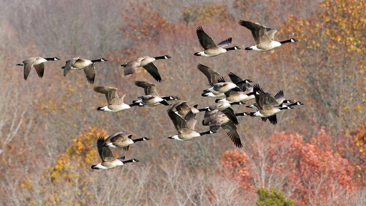 Стая канадских гусей над осенним лесом