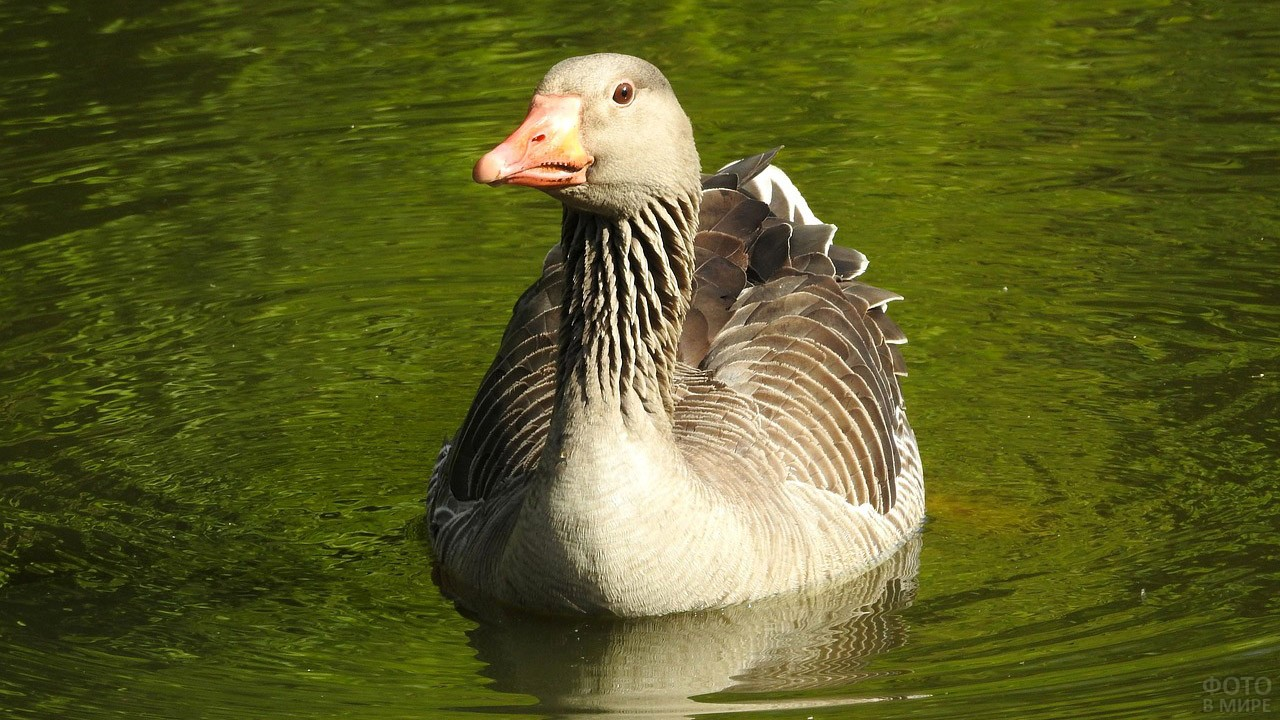 Водоплавающая дикая птица - гусь