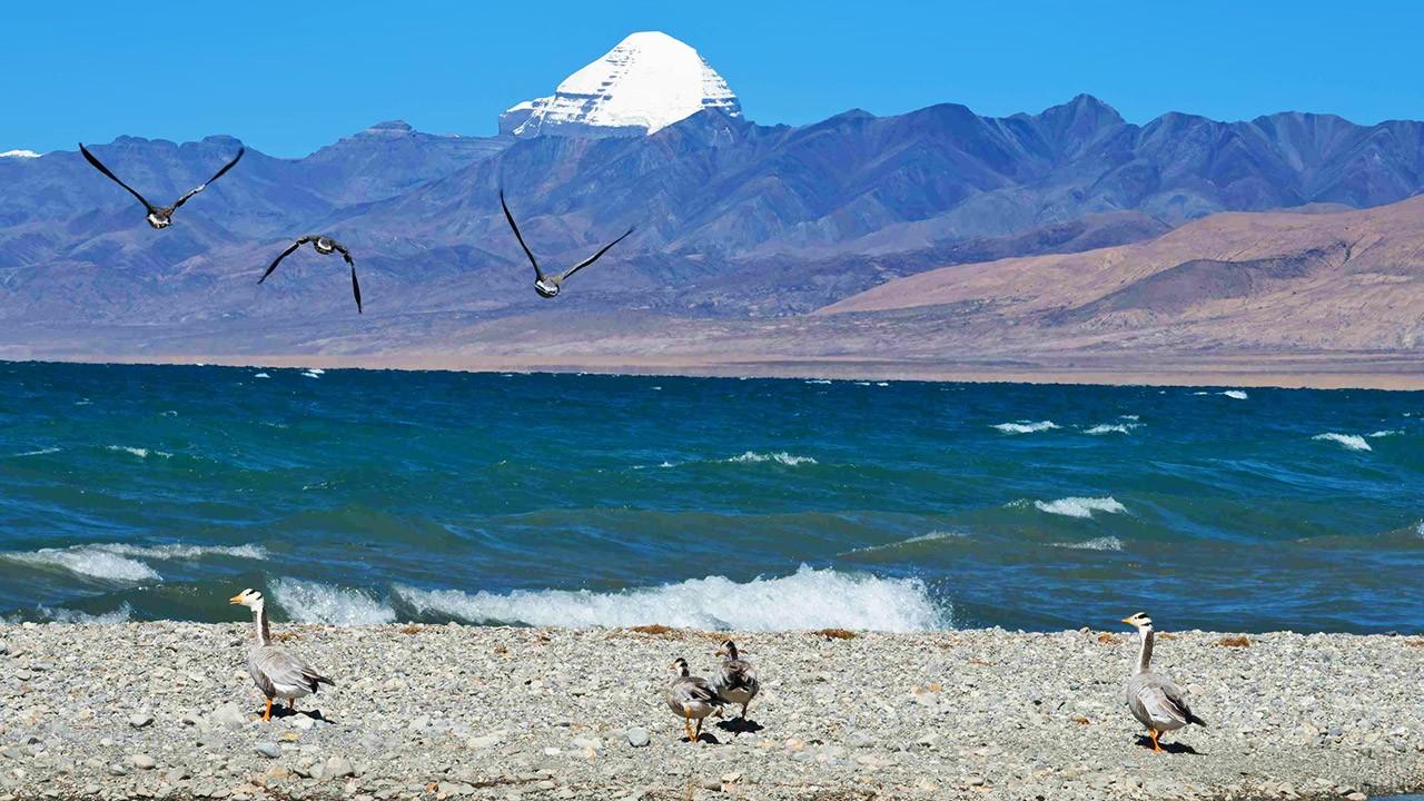 Дикие гуси на живом - пресноводном - озере Маносаровар