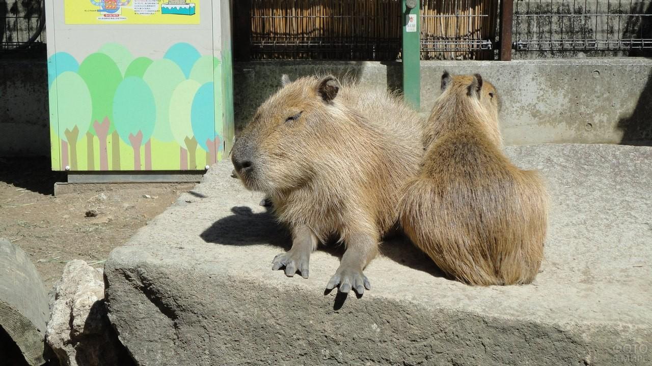 Две капибары сидят на камне