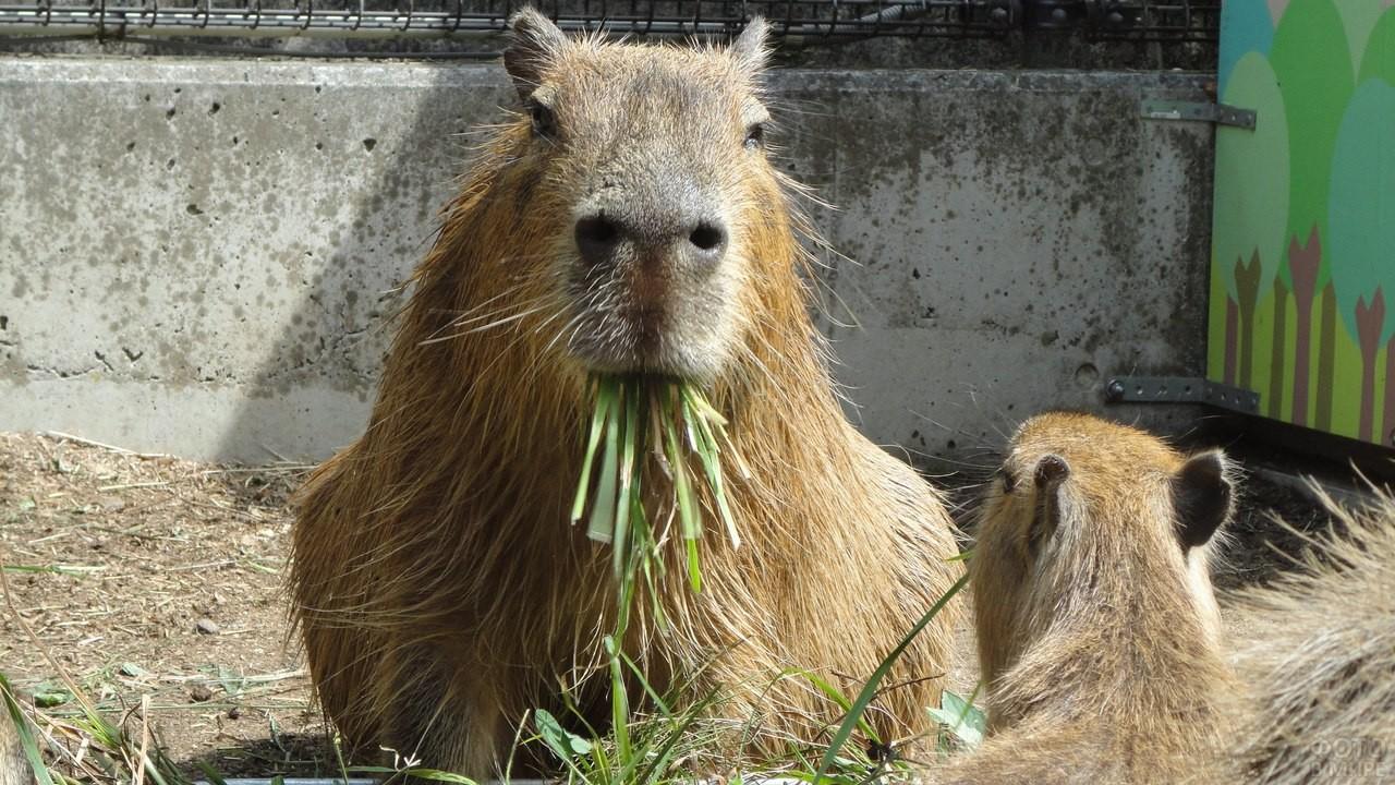 Капибара кушает траву