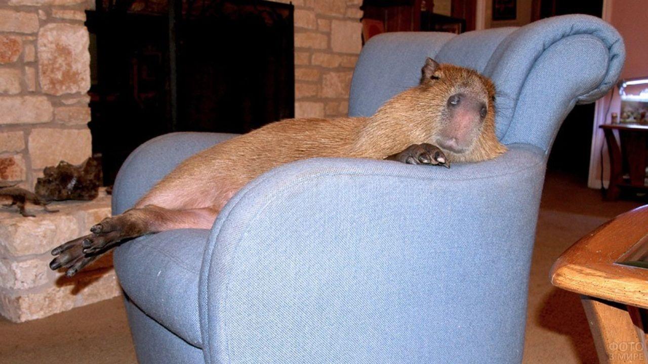 Капибара лежит на кресле