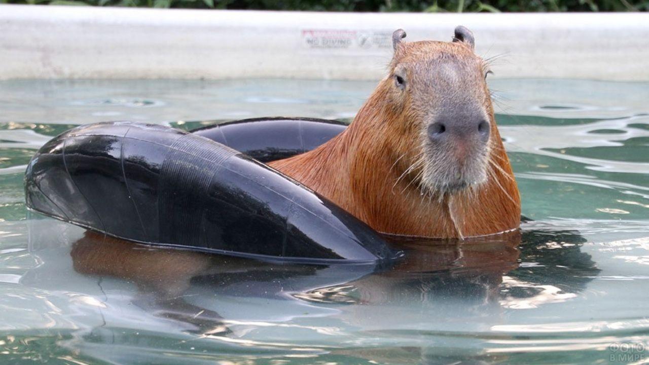 Капибара плавает в бассейне