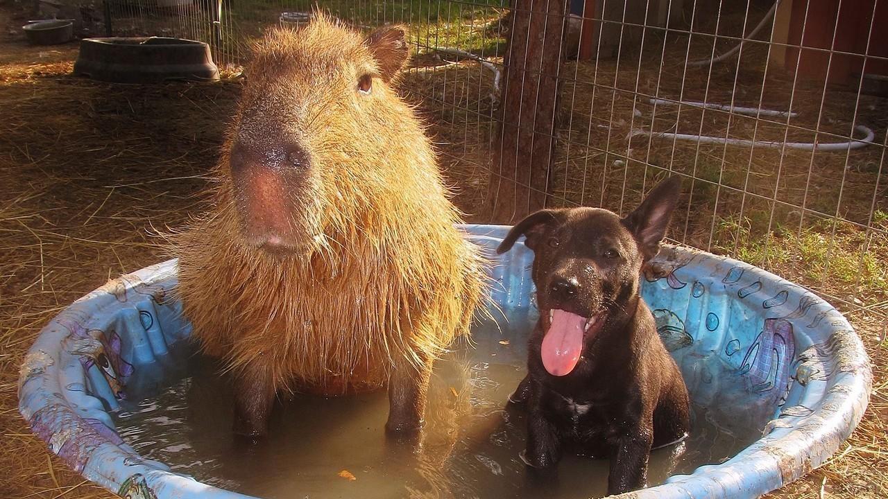 Капибара с собакой сидит в детском бассейне