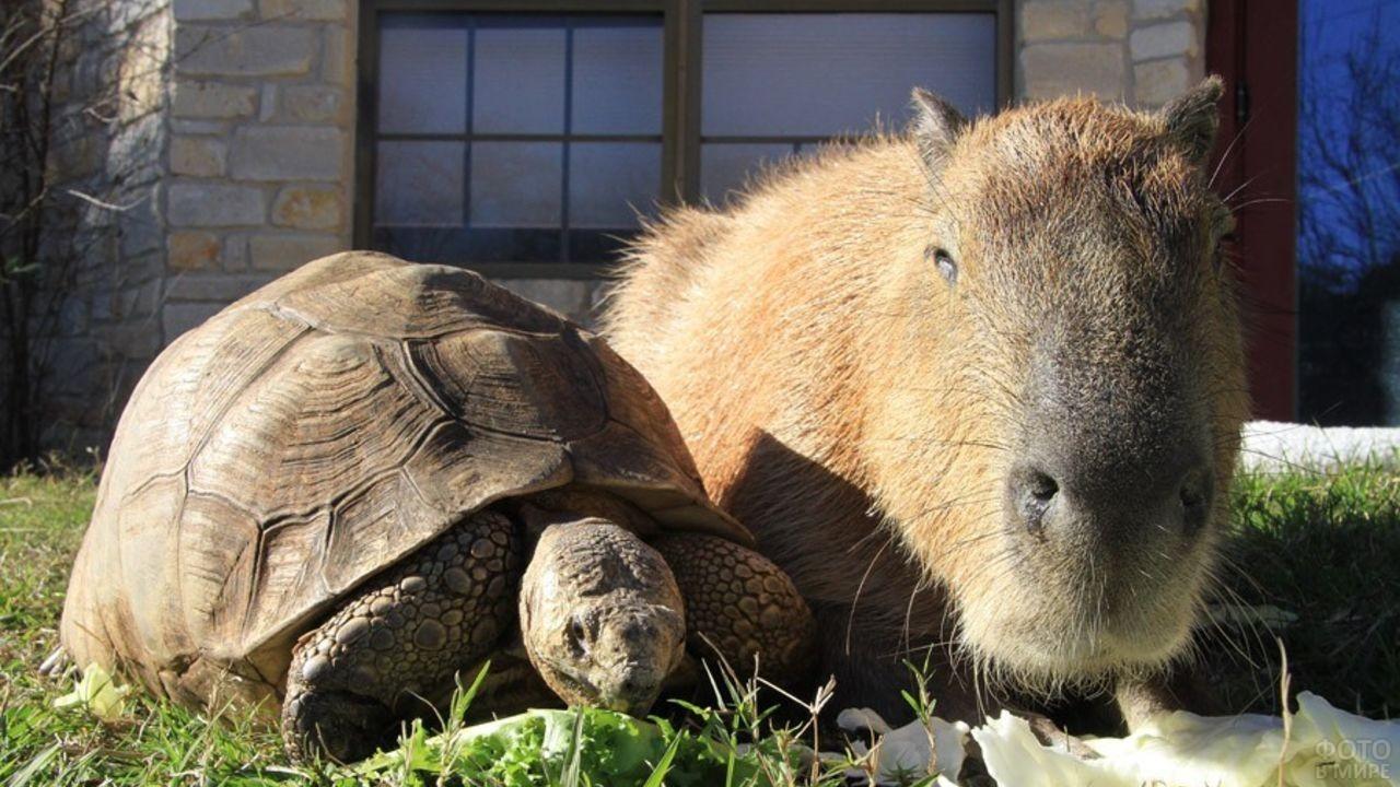 Капибара стоит рядом с черепахой