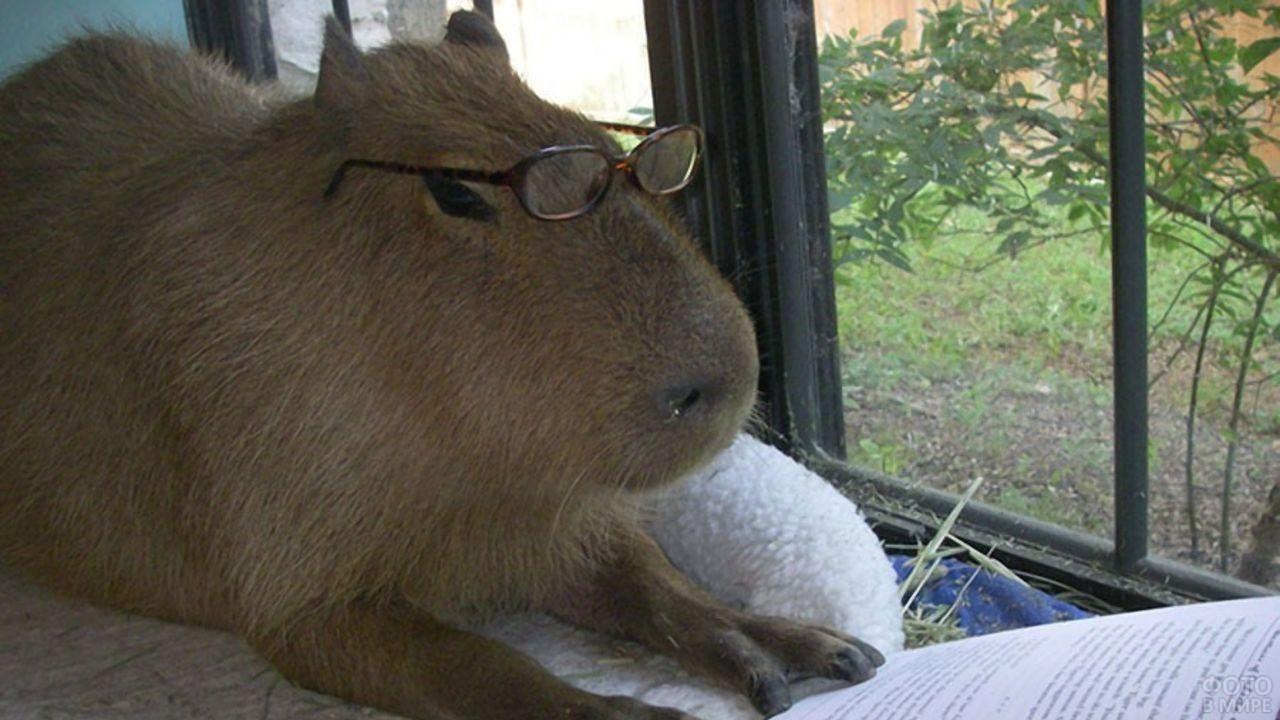 Капибара в очках смотрит на книгу