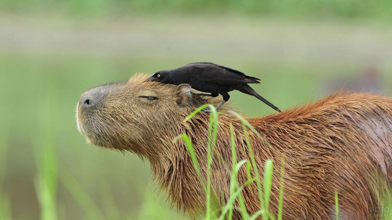 Птица сидит на капибаре