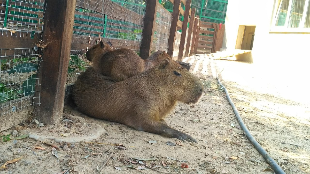 Семейство капибар в зоопарке