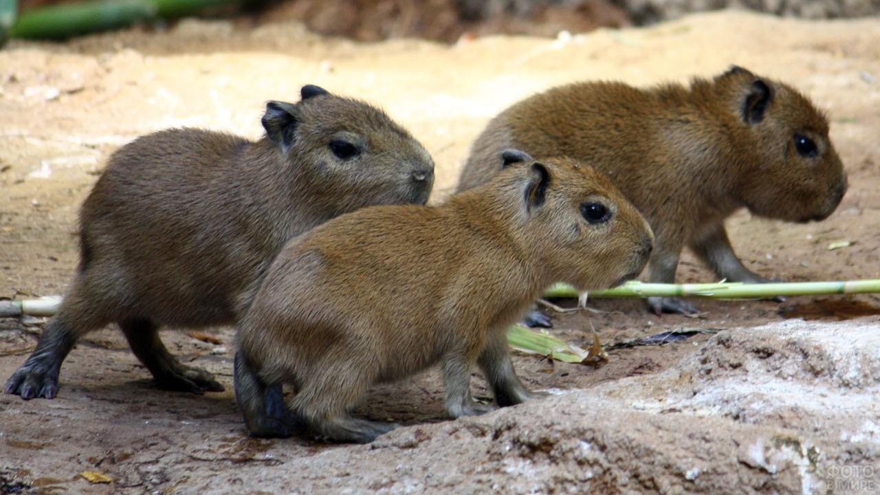 Три детёныша капибары идут по земле