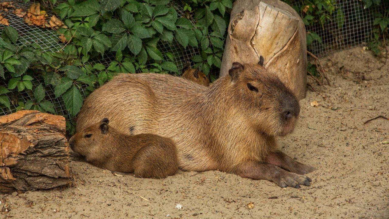 Водосвинка с малышом лежат на песке в зоопарке