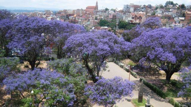 Цветущая аллея джакаранты - палисандрового дерева