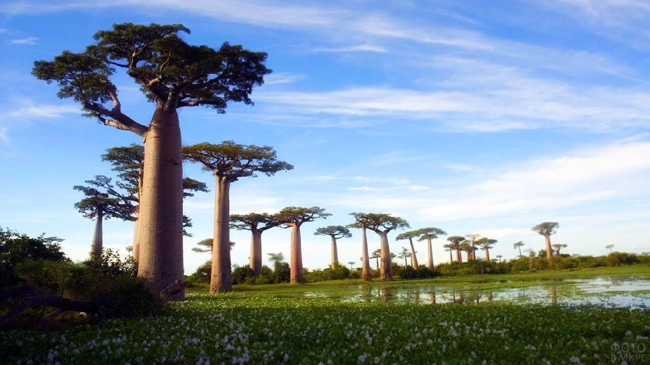 Реликтовый лес баобабов