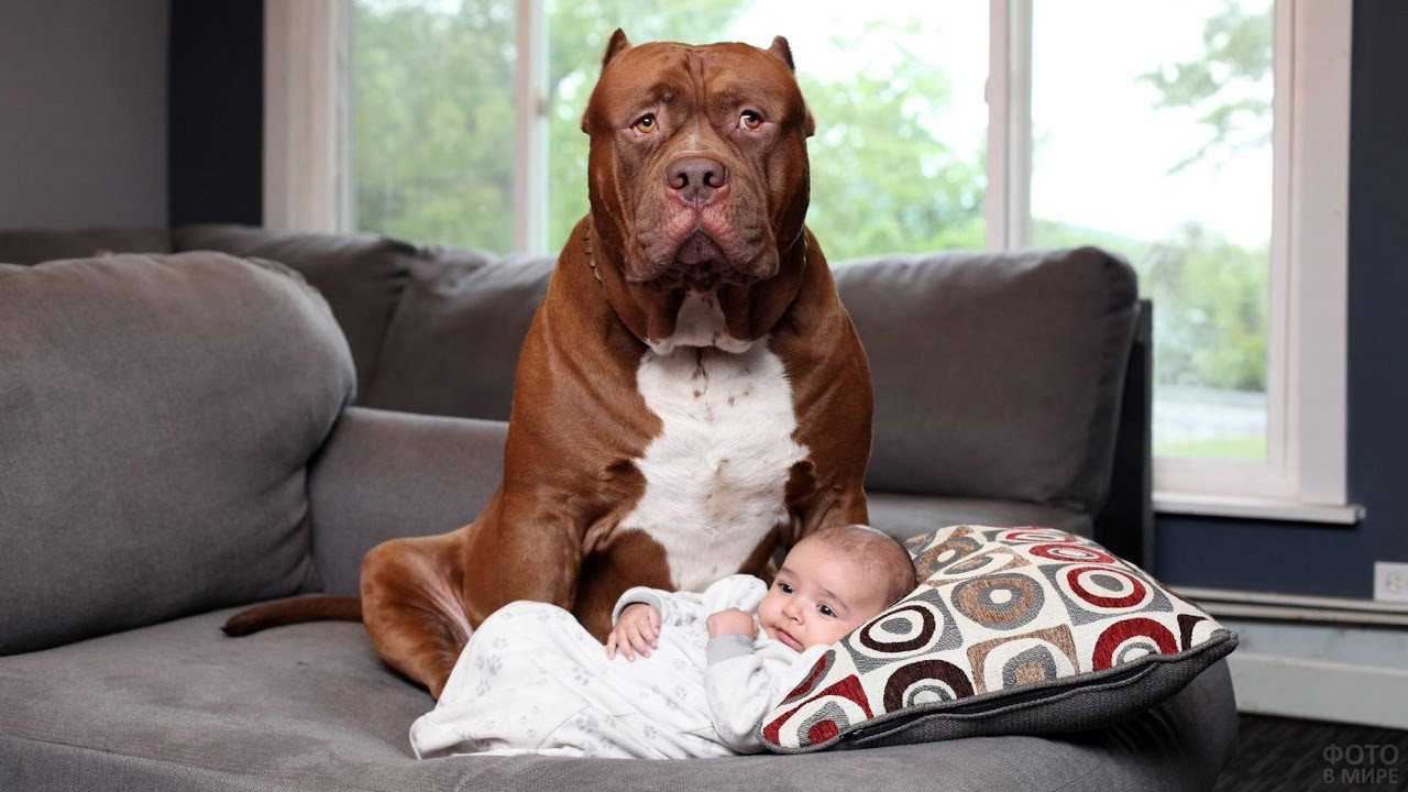 Гигансткий питбуль на диване с крошечным ребёнком