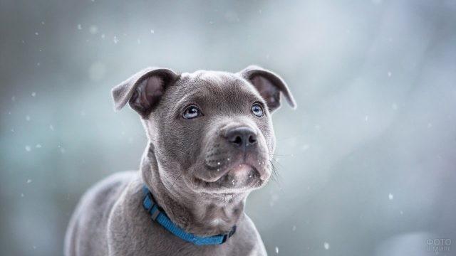 Очаровательный серый щенок в голубом ошейнике