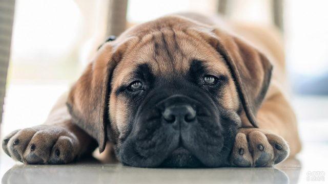 Сонный щенок бульмастифа