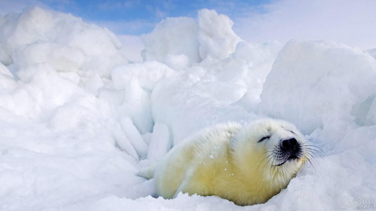 Белёк гренландского тюленя