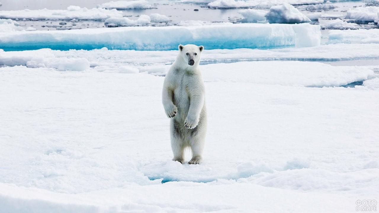 Любопытный белый медведь - обитатель Гренландии
