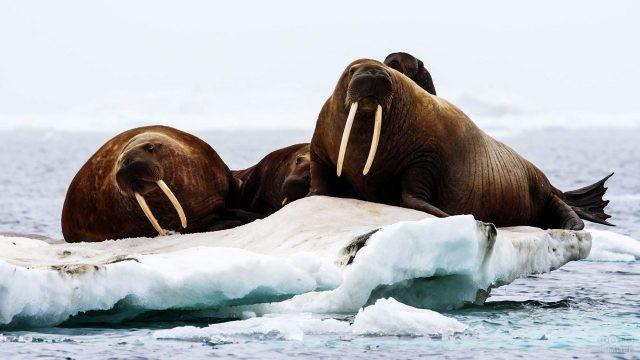 Моржи на льдине у берегов Гренландии