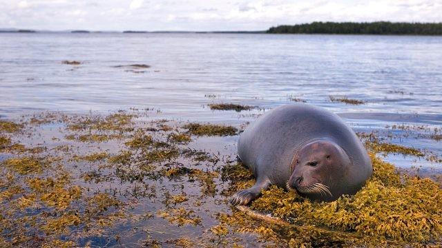 Кольчатая нерпа на берегу Белого моря