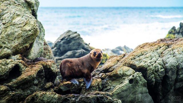 Новозеландский морской котик