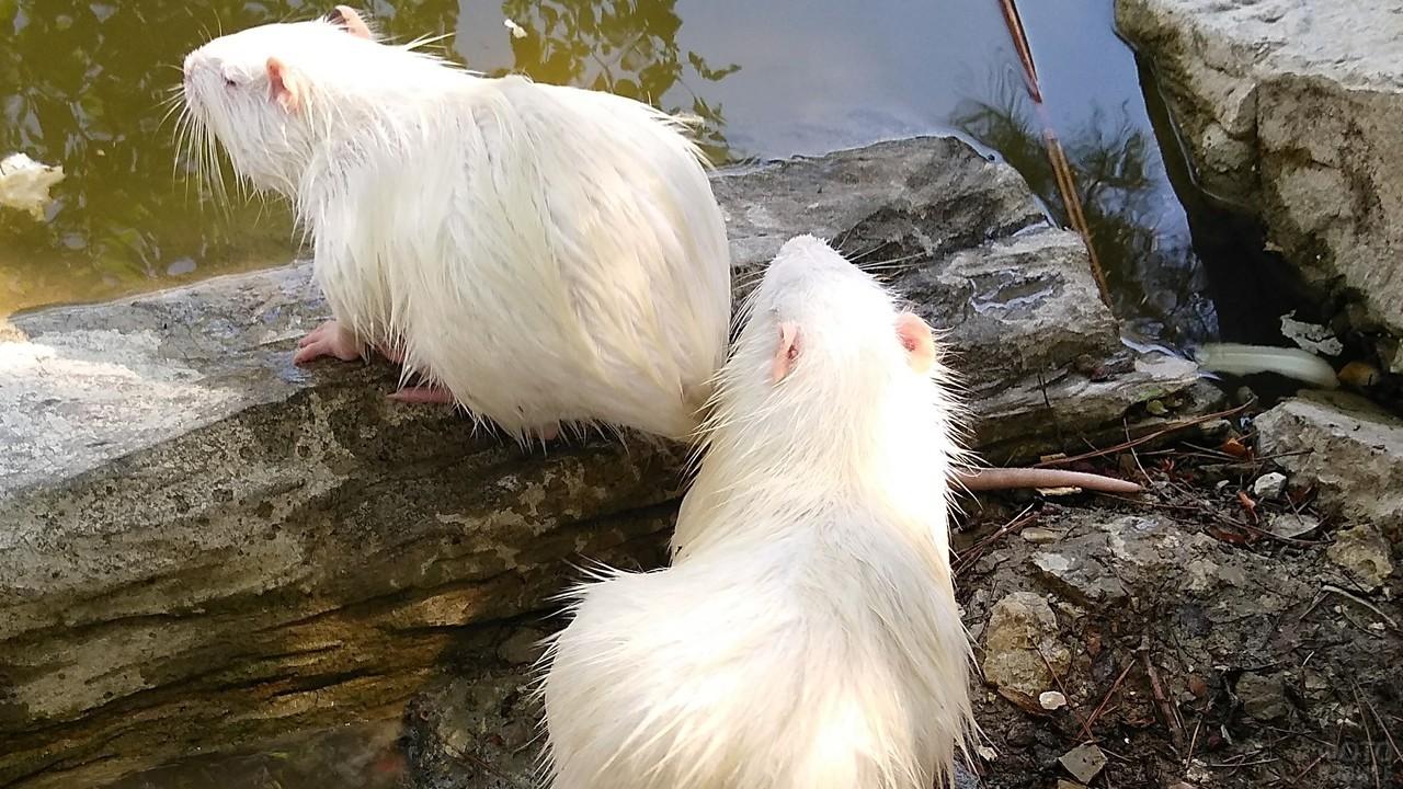 Две белых нутрии сидят на бревне