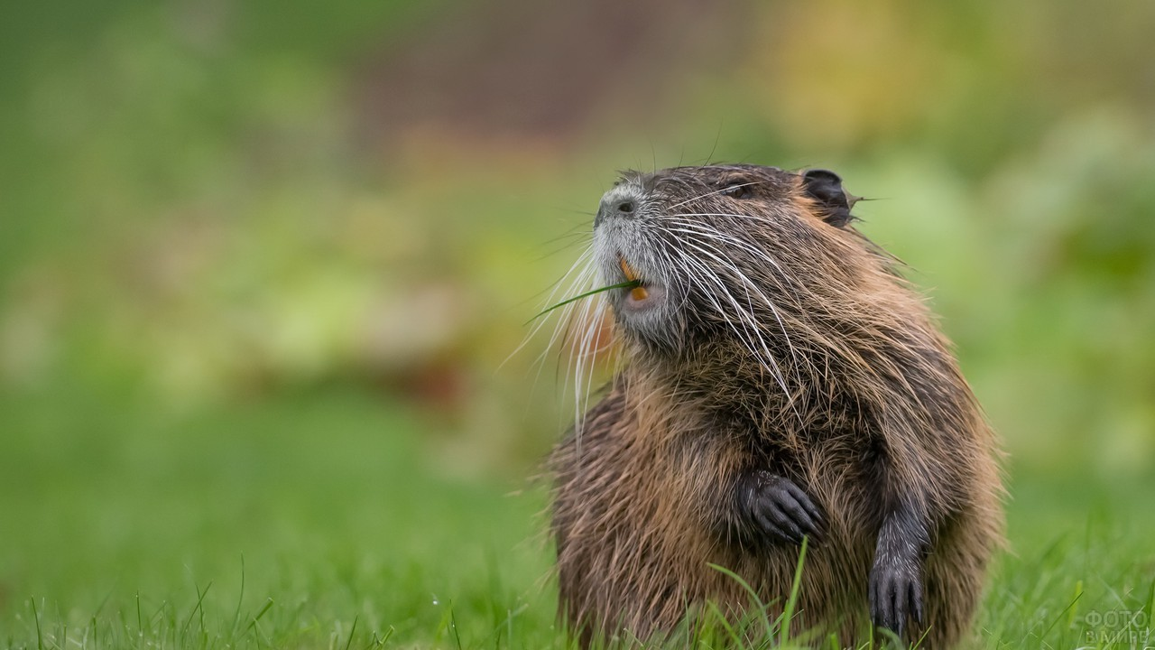 Коричневая нутрия сидит на траве