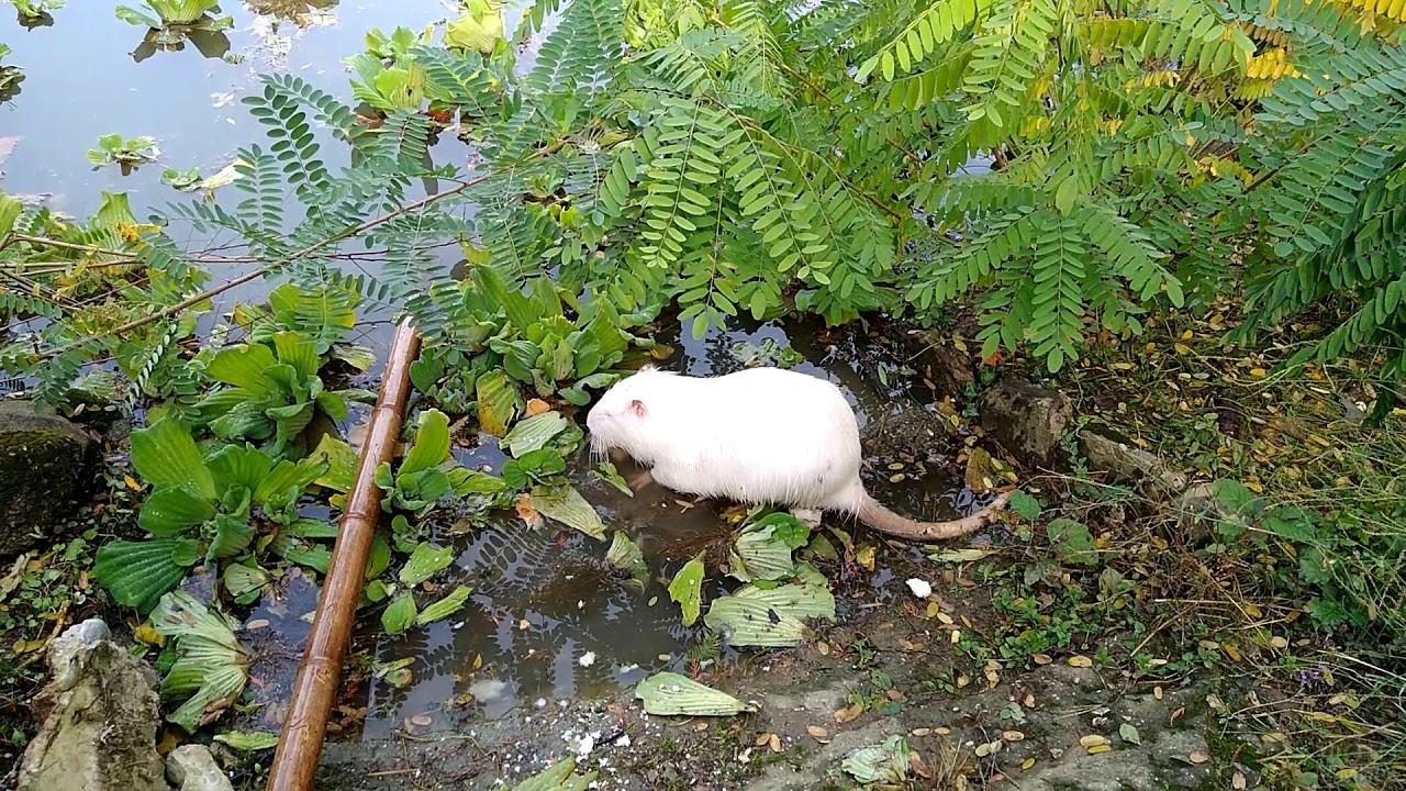 Нутрия альбинос в дендрарии Сочи