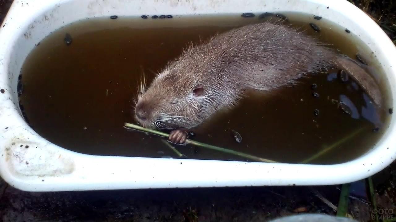 Нутрия плавает в ванной