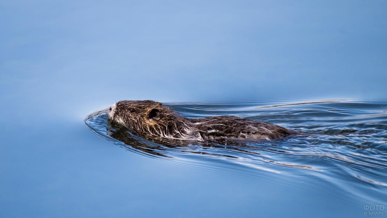 Нутрия плывёт по воде