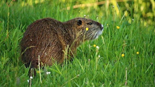 Нутрия сидит в траве среди цветов