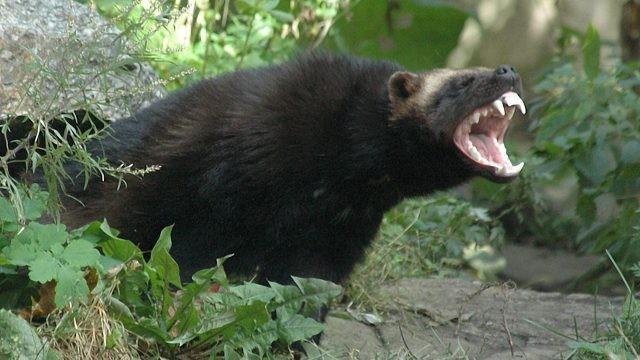 Чёрный хищник раскрыл пасть