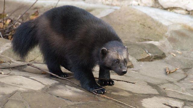 Чёрный хищник в зоопарке