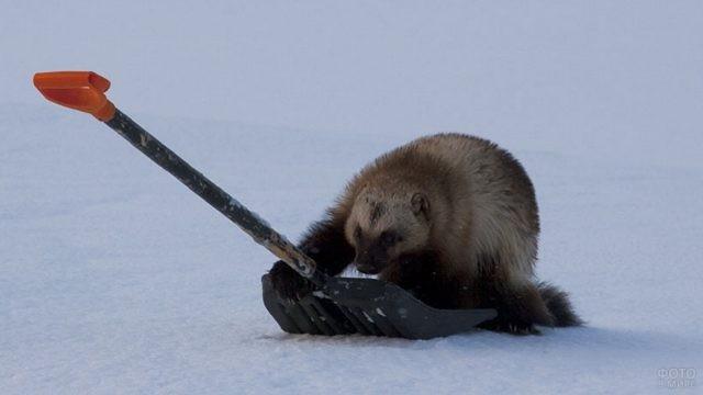 Хищник обхватил снеговую лопату