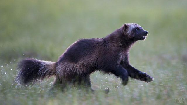 Росомаха вприпрыжку бежит по траве