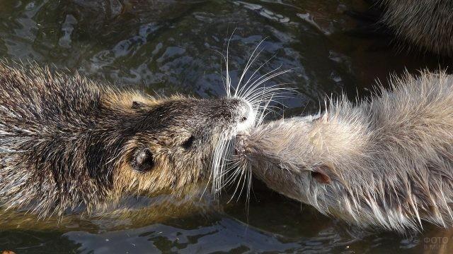 Две водяные крысы столкнулись нос к носу