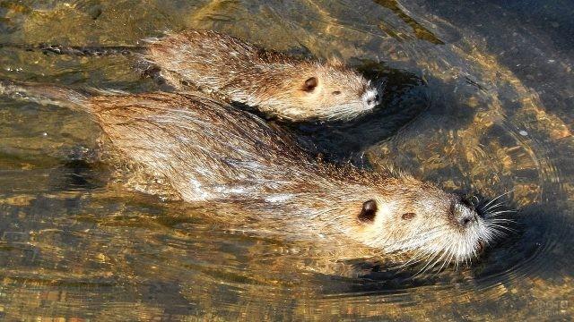 Мама с детёнышем плывут по воде