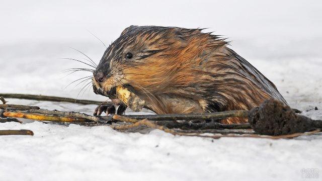 Мокрая ондатра на снегу