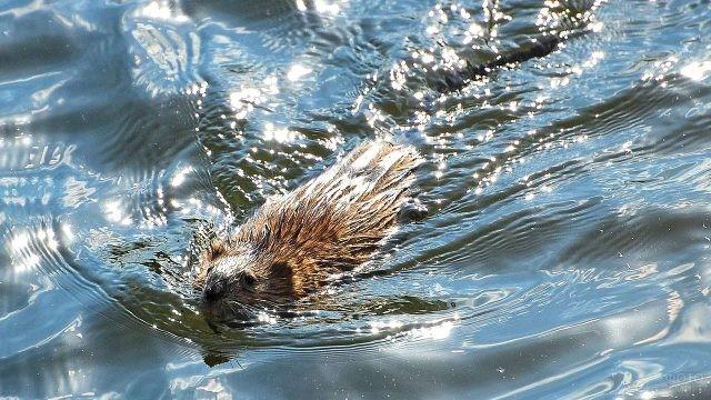 Ондатра высовывает голову из воды