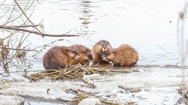 Стайка водяных крыс на снежном берегу