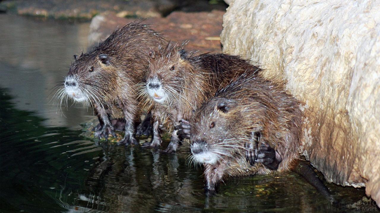 Три водяные крысы сидят у камня