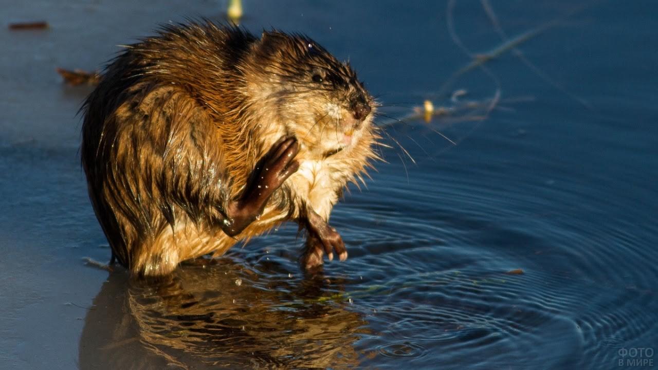 Водяная крыса прыгает по воде