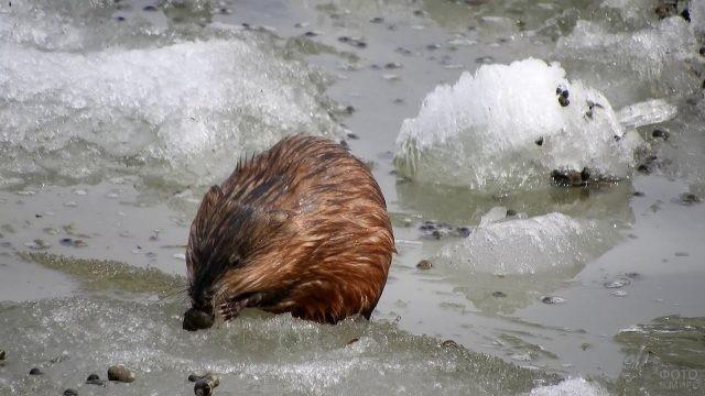 Водяная крыса в проруби