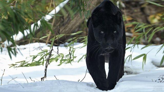 Большая пантера ступает по снегу