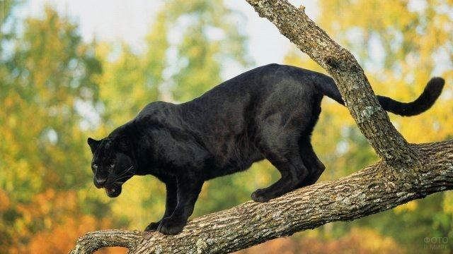 Чёрная пантера на ветке дерева