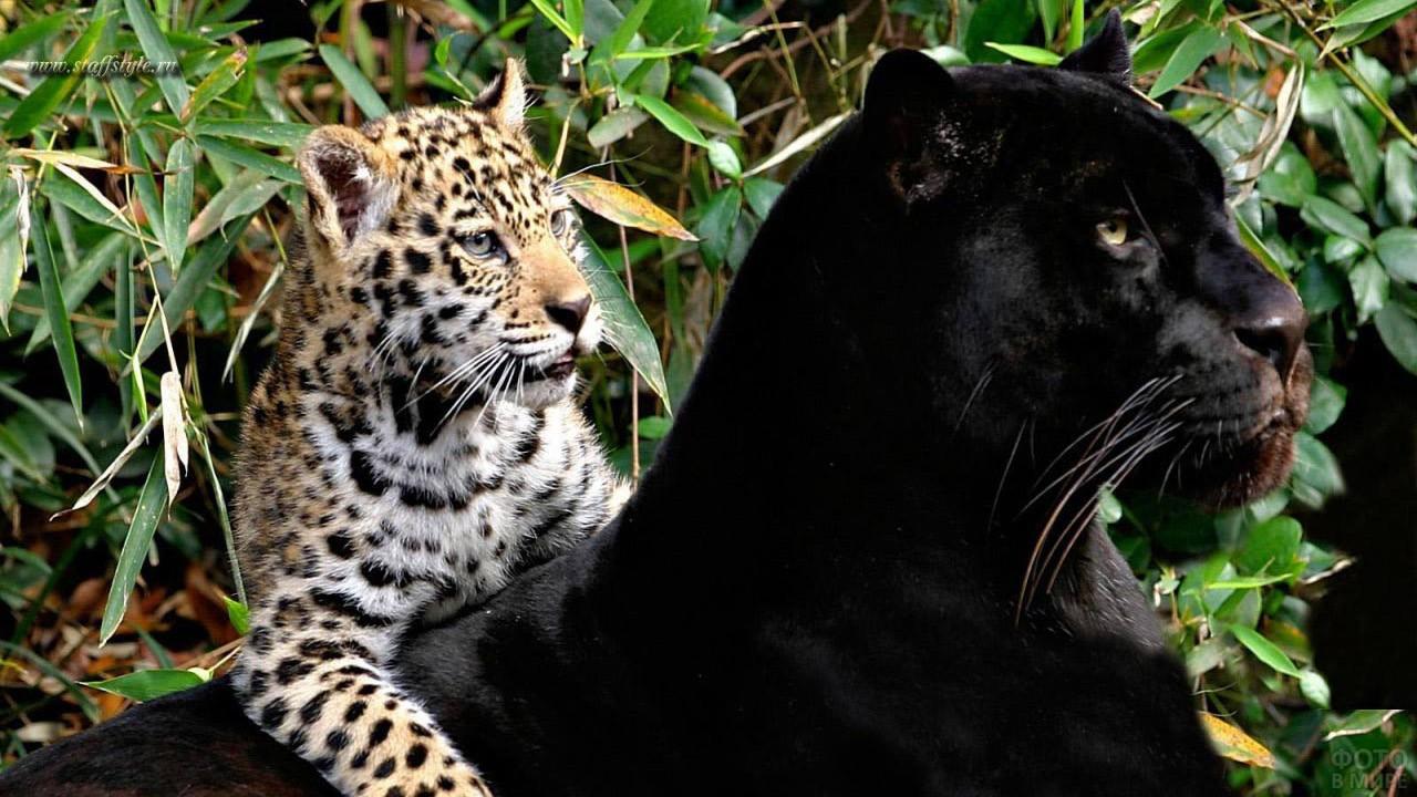 Чёрная пантера с пятнистым детёнышем