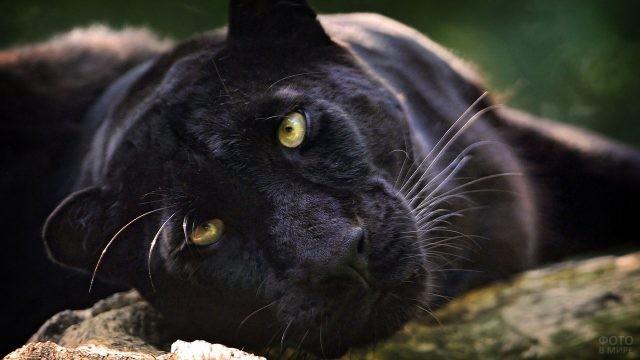 Дикая кошка с жёлтыми глазами
