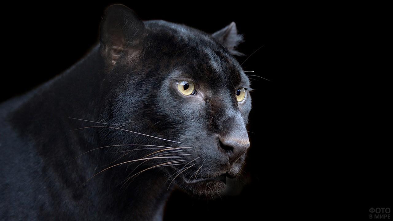 Голова пантеры на чёрном фоне