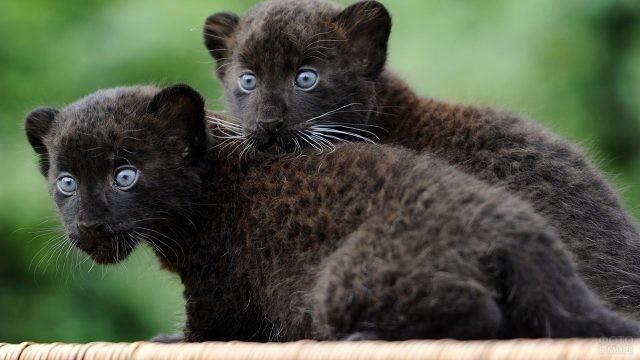 Голубоглазые котята пантеры